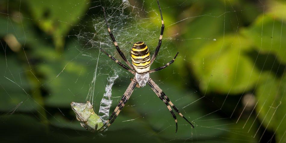 Wespenspinne: Spinne in Deutschland
