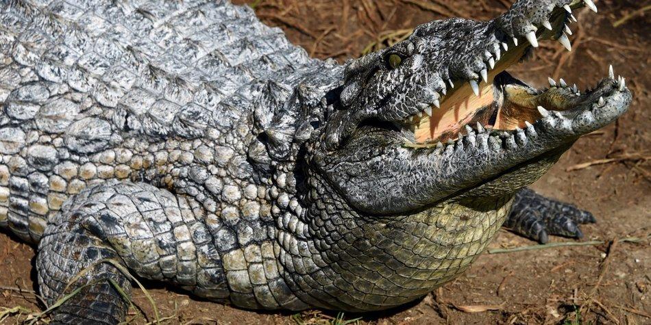 Krokodil gesteinigt