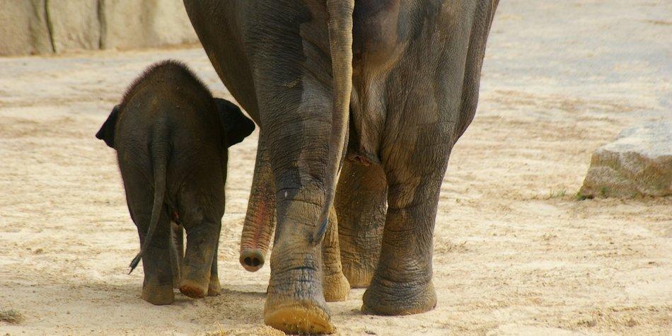 Elefant im Kölner Zoo eingeschläfert