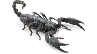 Skorpion Maniküre