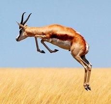 Springende Antilope