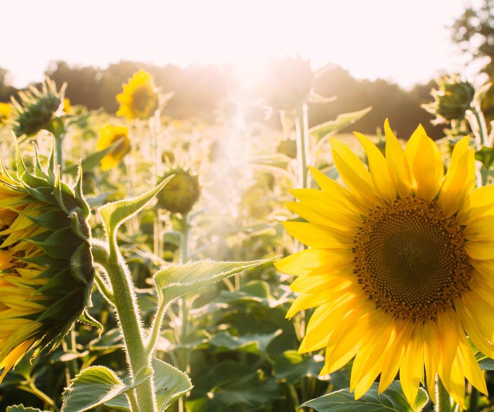 pexels-photo Sunflower