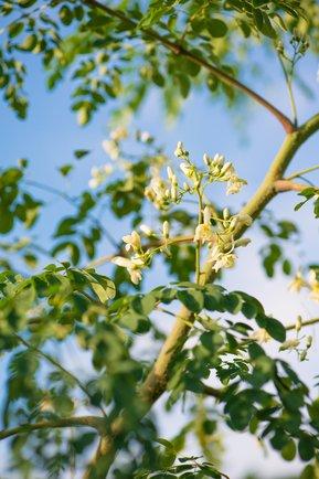 Moringa-Pflanze