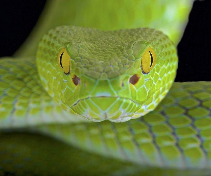 Snake Eyes Piercing