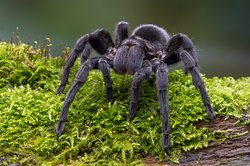 Brazilian Black Velvet Tarantula