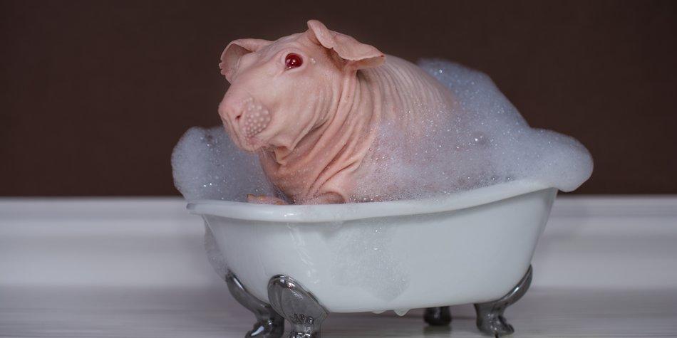 Meerschweinchen Internetstar