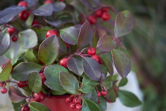 Balkonpflanzen Winter