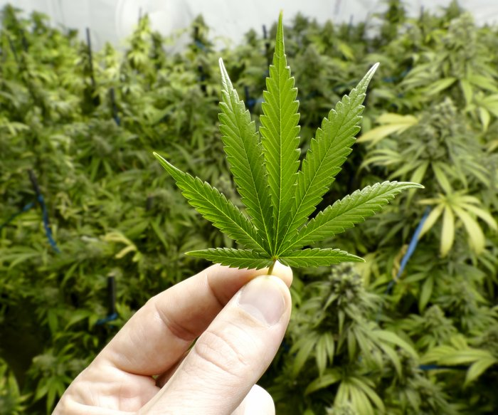 THC: Cannabis soll gegen Demenz helfen