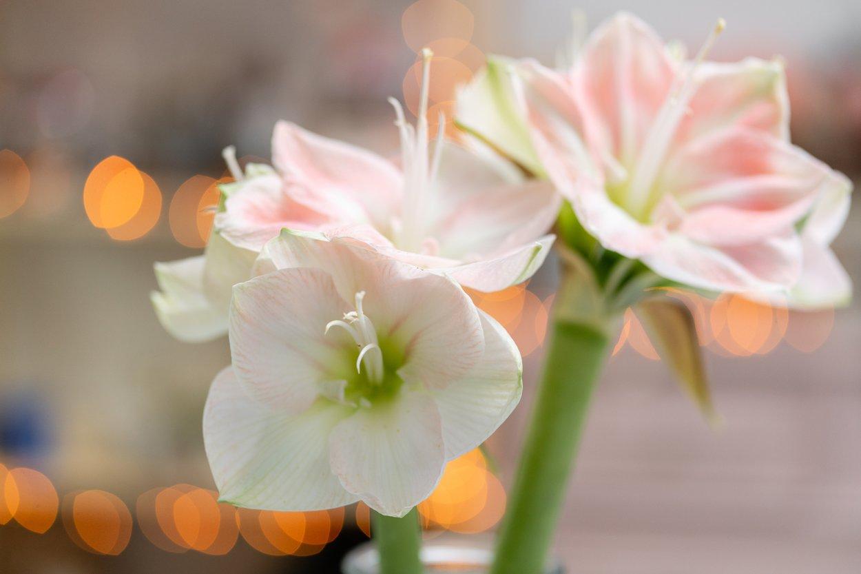 Amaryllig weiß rosa