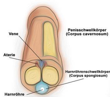 Erektion durch die drei Schwellkörper im Penis
