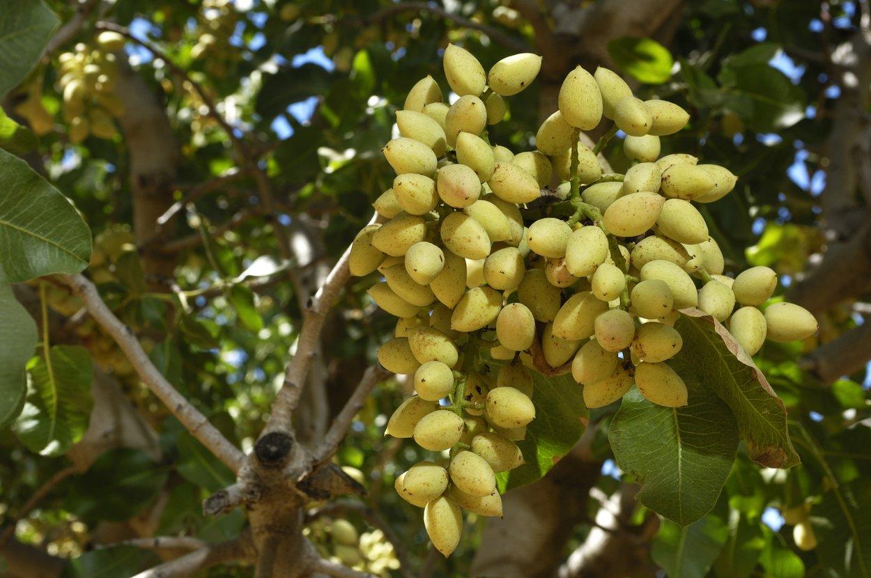 Pistazien gesund: Pistazienbaum