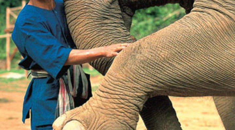Dreißig Elefanten produzieren den teuersten Kaffee der Welt: Black Ivory.