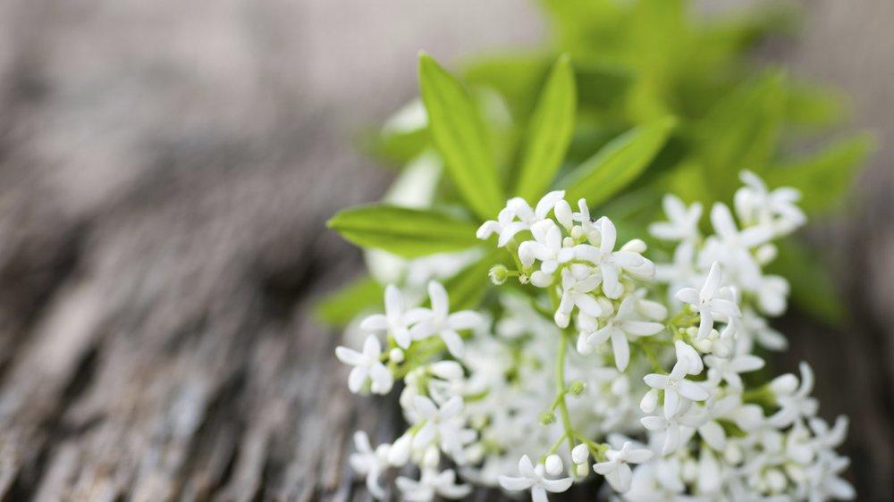 Waldmeister: Wenn Kräuter sich als Süßkram tarnen