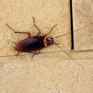 Trennungsschmerzen Kakerlake