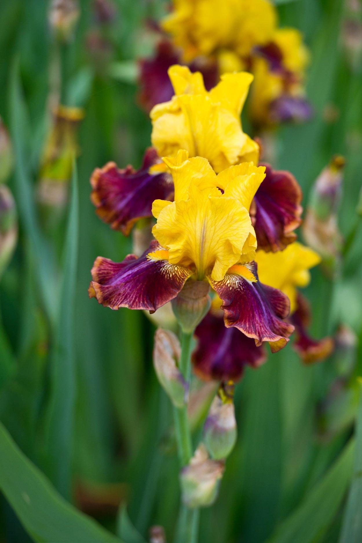 Iris Bedeutung: Bunte Iris