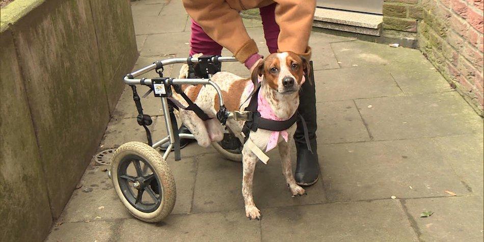 Hund Rollstuhl