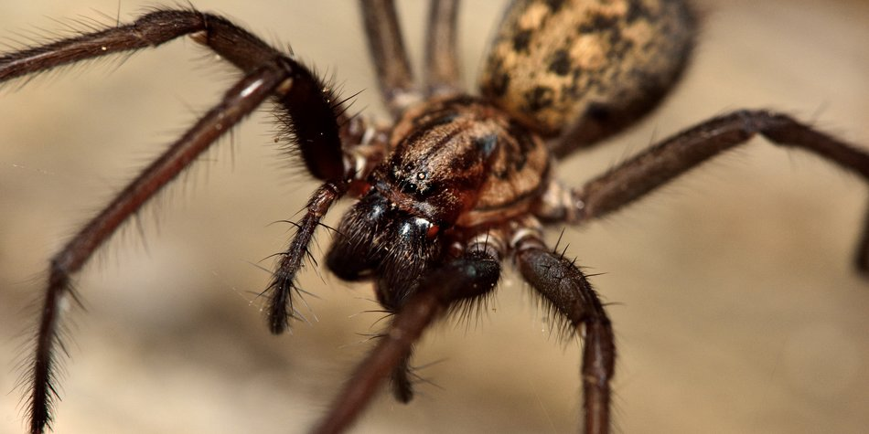 A large spider in the family Agelenidae, active at night and showing large fangs
