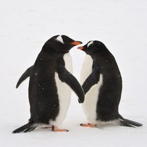 Penguins Hold Hands