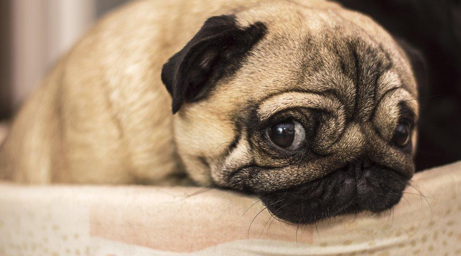 sad sorry guilty offending dog pug pet