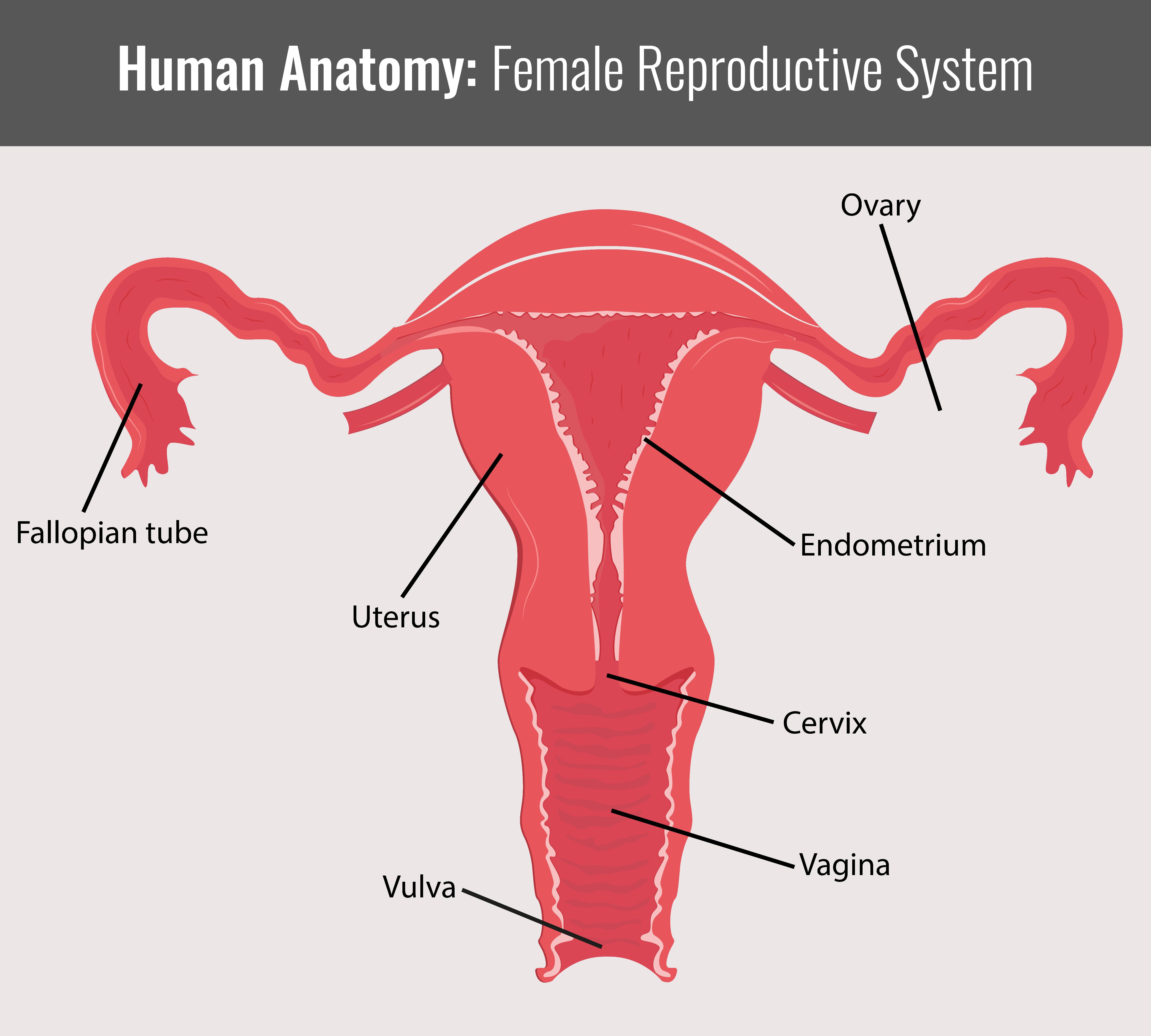 Fantastisch Anatomie Des Uterus Mit Diagramm Bilder - Anatomie Von ...