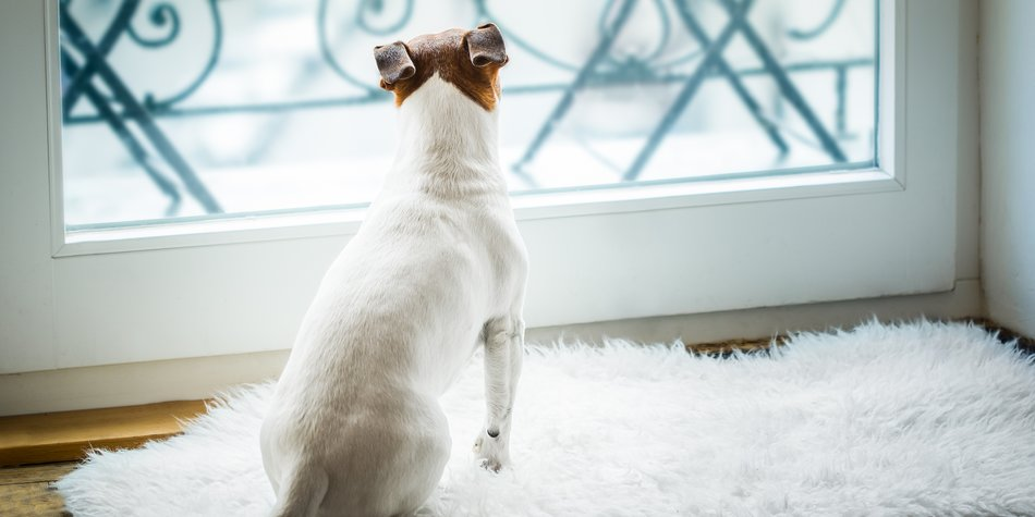 Jack russell dog missing and thinking about the past and future s , watching out of the window