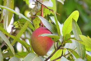 Mango Verhütungsmittel