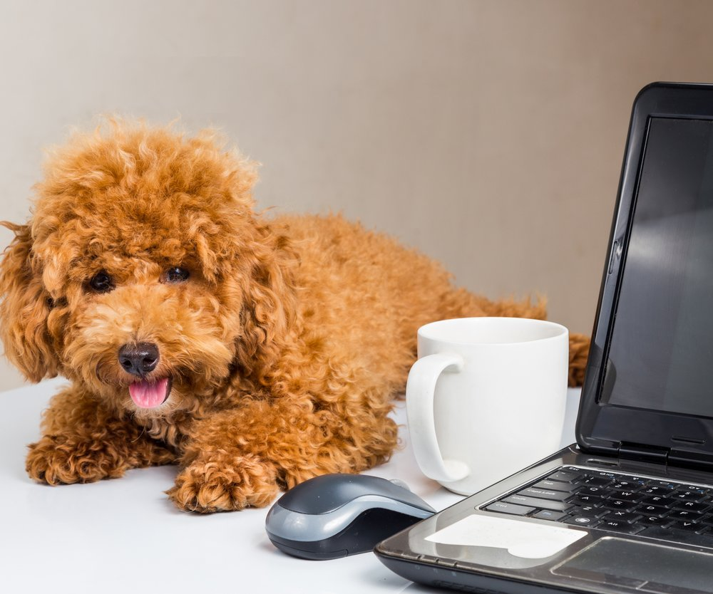 Cute poodle puppy resting on office desk with laptop computer
