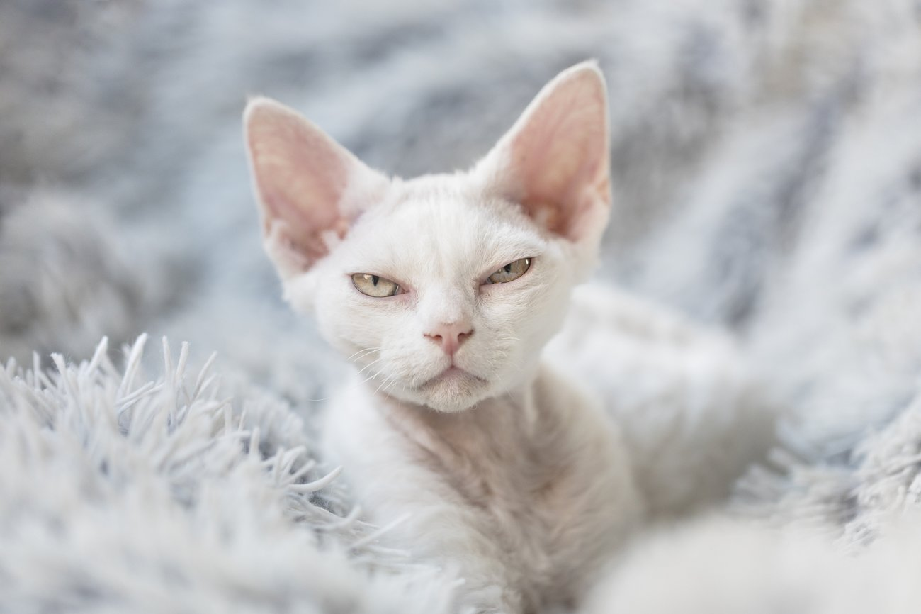 Devon Rex Katze