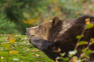 Skurilles Gesetz: Bären nicht wecken