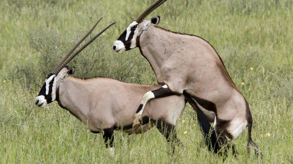 Antilopenstellung