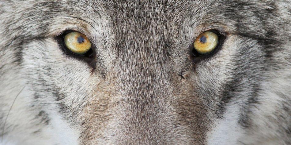 Wolf Tattoo Bedeutung