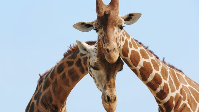 Two giraffes leaning against each other