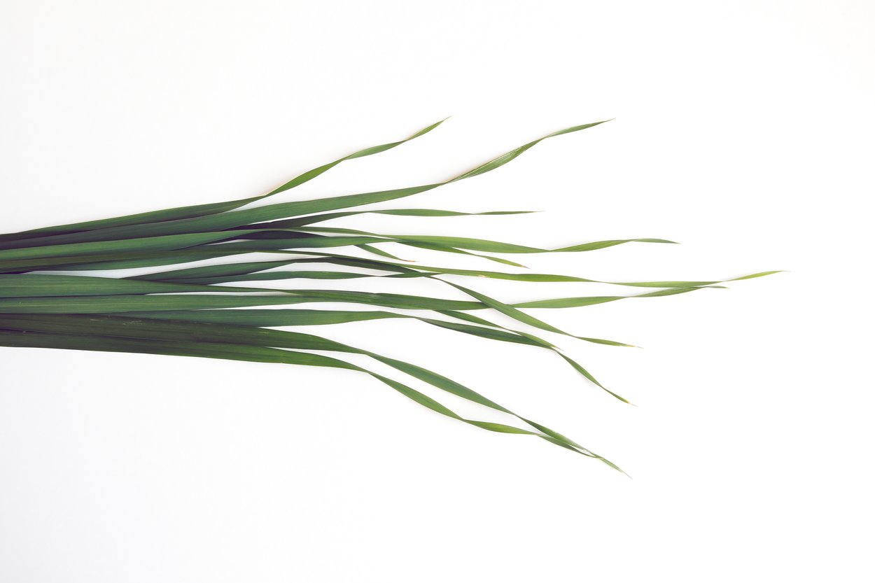 Gerstengras: Darum schwören so viele auf das grüne Pulver