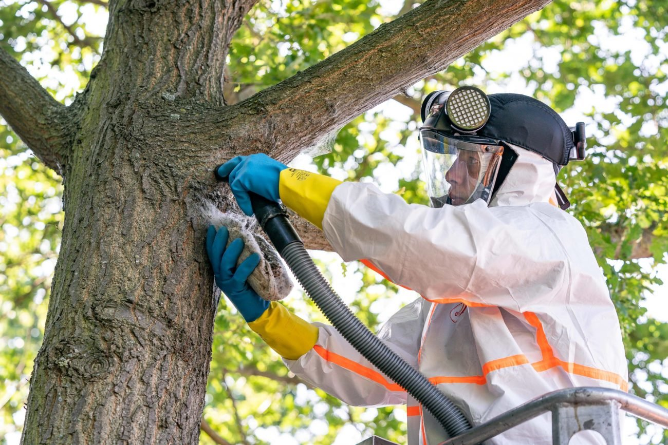 Baumpfleger entfernen Nester des Eichenprozessionsspinners Auf einer ausfahrbaren LKW Arbeitsbühne