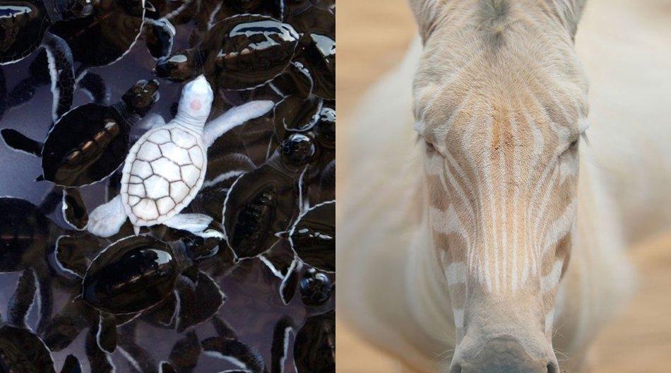 albino tiere