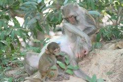 Einige Affenarten menstruieren ebenfalls