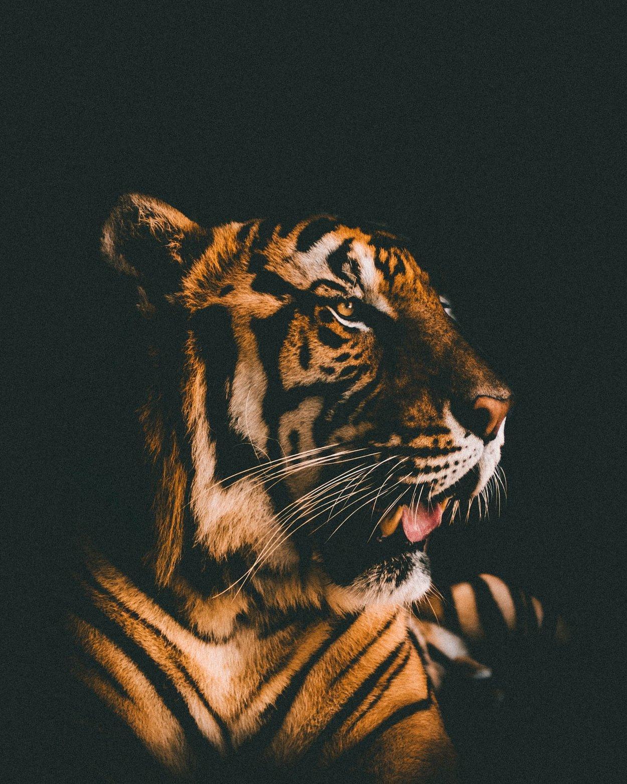 Tiger-Tattoo Portrait