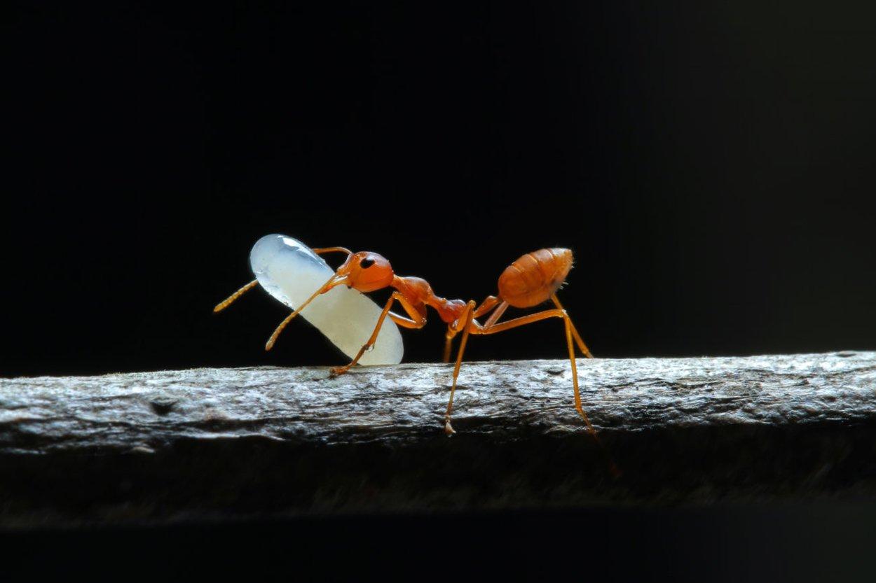 Ameiseneieröl Das Wundermittel Zur Haarentfernung Desiredde