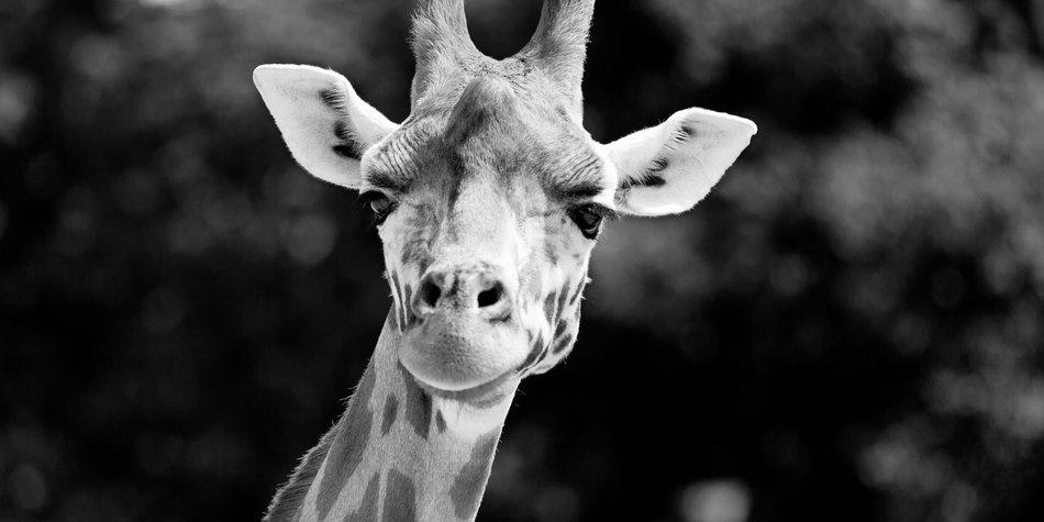 Weiße Giraffen gesichtet