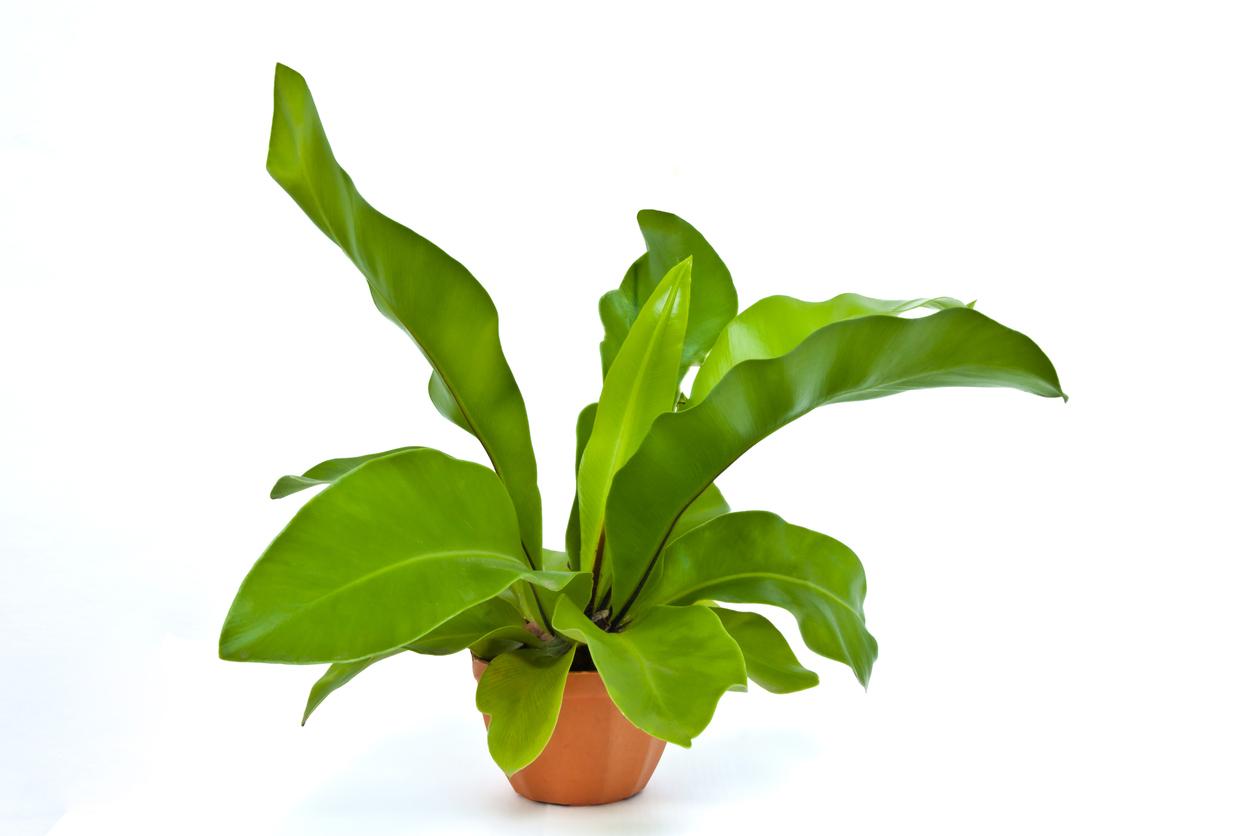 Große Zimmerpflanzen Wenig Licht 7 zimmerpflanzen die wenig licht brauchen erdbeerlounge de