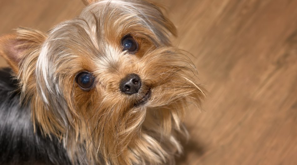 Yorkshire Terrier dog. Closeup. Home pet. Pedigree dog
