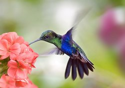 Kolibri-Tattoo Bedeutung