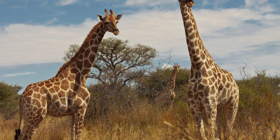 Giraffen in Freiheit