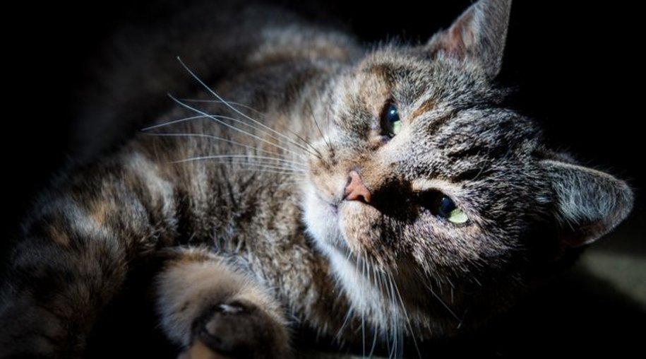 Unter anderem durch Katzen wird der Erreger der Toxoplasmose verbreitet.