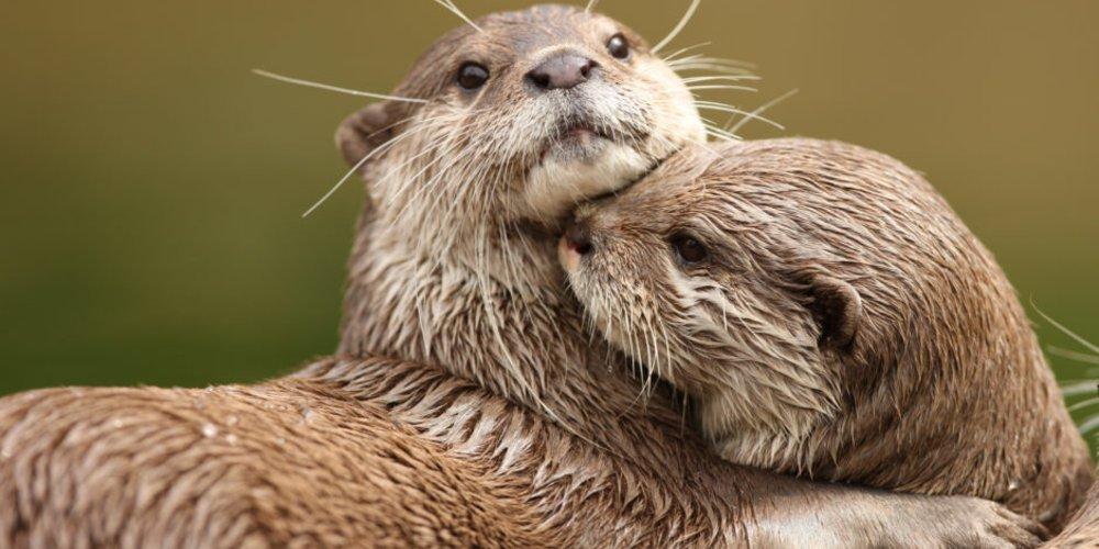 Otter-Tätowierung
