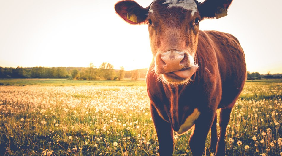 Cow on a meadow during sunset-close up