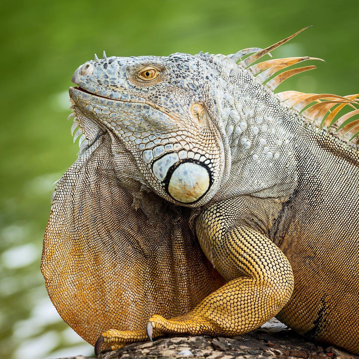 Costa Rica Tortuguero Leguan