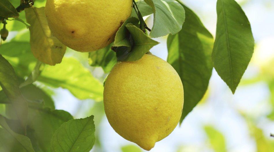 Zwei Zitronen am Baum