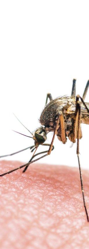 Das Zika-Virus wird von der Tigermücke übertragen.