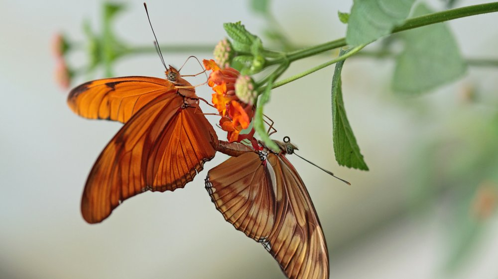 Schmetterlingsstellung
